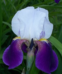 iris, flower, iris versicolor, purple, flora, petal,