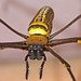 Giant Wood spider(Nephila pilipes jalorensis) spotted in Wynad, Kerala by MANOJ LOVEDALE Away for sometime