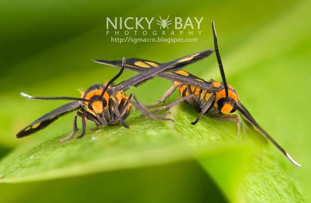 Tiger Moths (Arctiidae) - DSC_1482