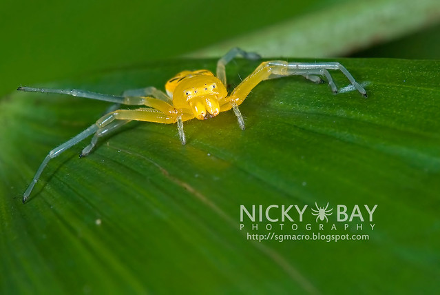 Eight-Spotted Crab Spider (Platythomisus octomaculatus) - DSC_0053