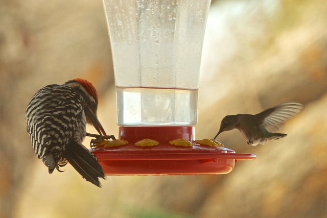 Sharing a nectar feeder
