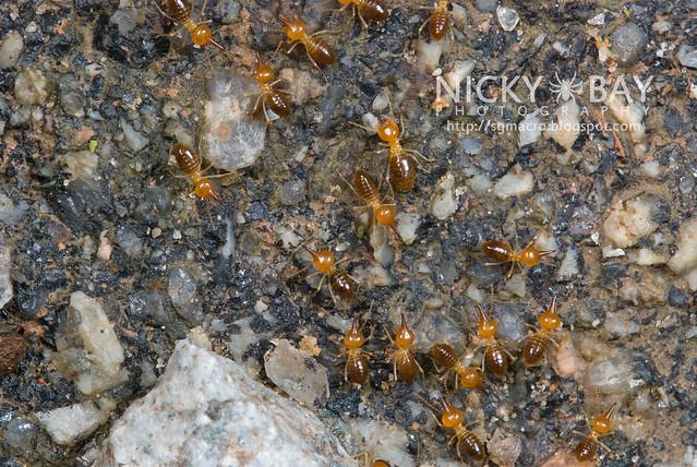Luzon Point Headed termites? (Nasutitermes Luzonicus) - DSC_8030