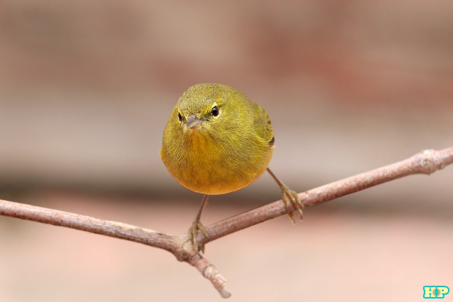 Orange-crowned Warbler 010313