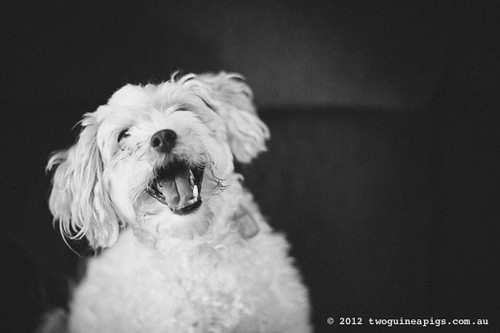 { explored 4.jan.13 } Mozart the maltese/poodle/other by twoguineapigs pet photography