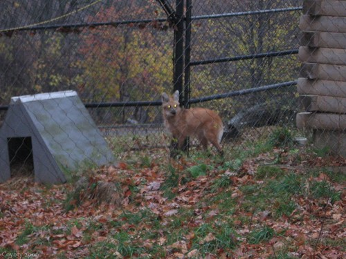 Maned wolf (2nd of 8 photos) by Coyoty