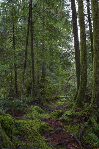 trees green nature leaves vertical forest canon outside moss woods scenery colorful path branches scenic pacificnorthwest washingtonstate pnw canonef2470mmf28lusm hdr noble cedarrivertrail canoneos7d