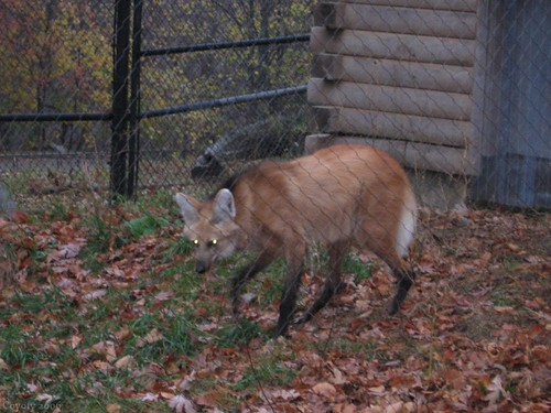 Maned wolf (5th of 8 photos) by Coyoty