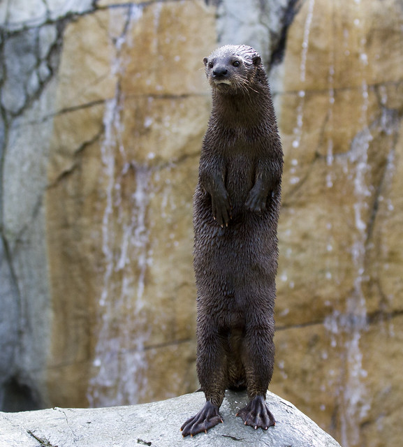 a tall, morose-looking otter standing on a rock, a la a meerkat lookout.