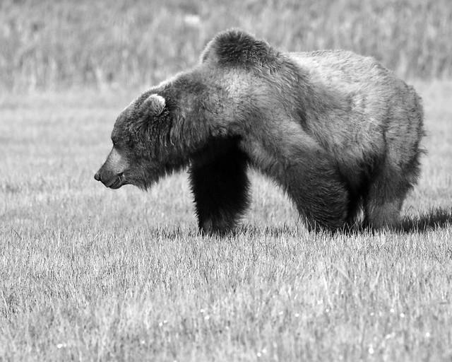Black & White Brown Bear
