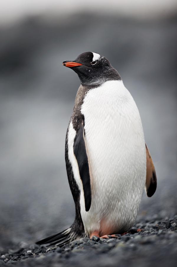 RYALE_Antarctica_Penguins-11