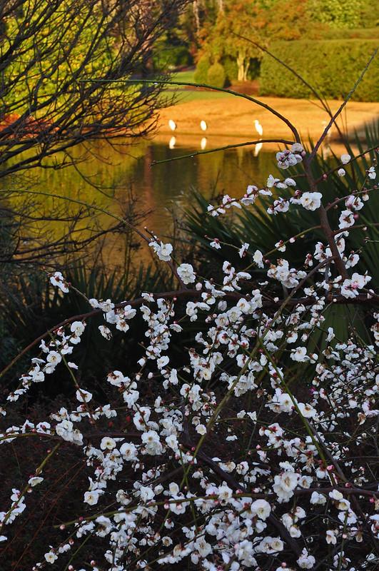 Prunus mume 'Bridal Veil'