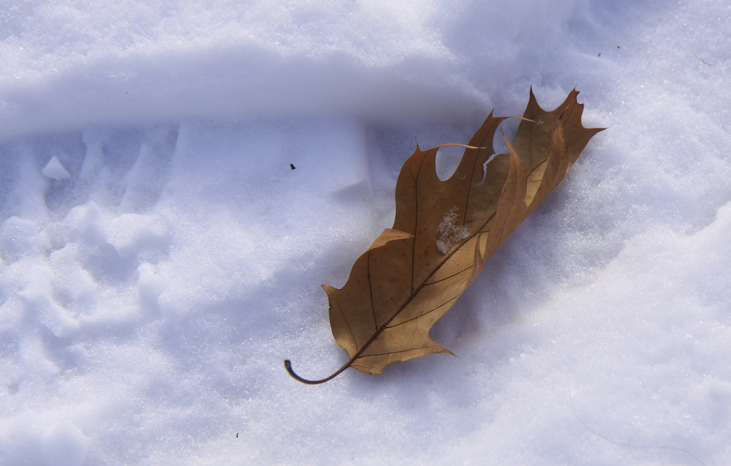oak leaf in snow