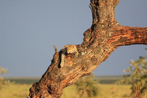 africa tanzania safari leopard wildebeest pantherapardus serengetinationalpark tropicaltrails