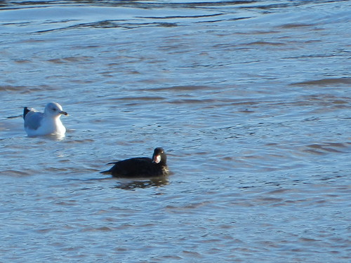 Surf Scoter and Ring-billed Gull
