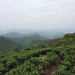 White tea garden in Fuding, Fujian