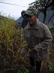 歷坵小農杜爸歡喜示範徒手採小米。