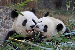 Po - Bamboo Thief, Part 2