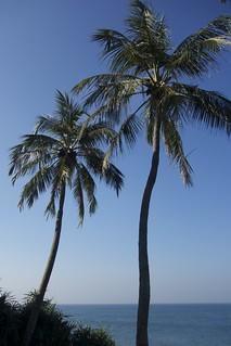 Sri Lankan Palm Trees