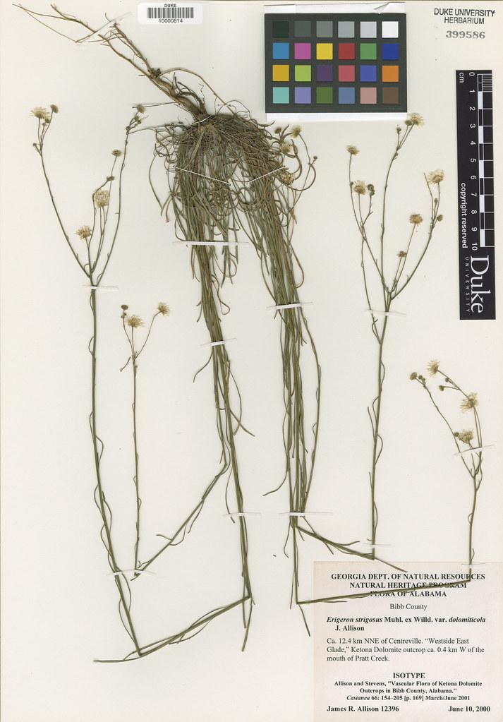 Asteraceae_Erigeron strigosus2