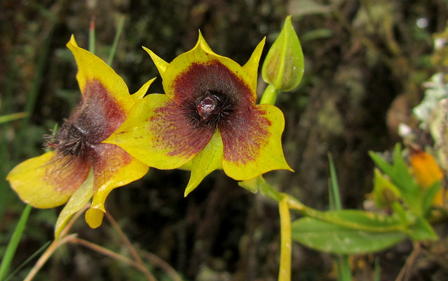 Endemic Telipogon cf. berthea orchid - Chingaza, E Andes [thanks to Sam Crothers for ID info]