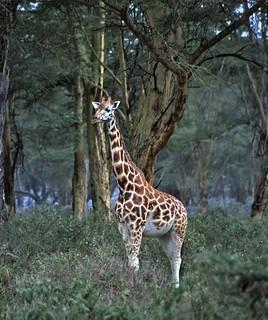 Rothschild's Giraffe (Giraffa camelopardalis rothschildi)