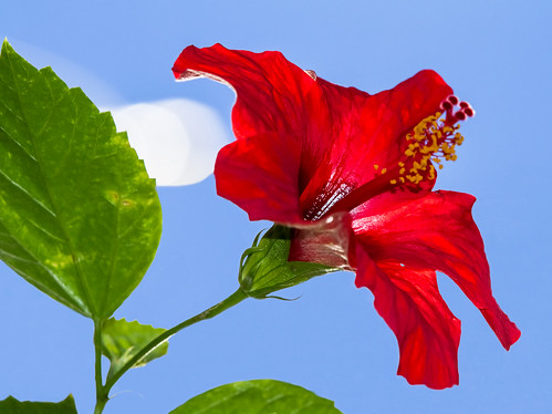 Red Hibiscus (something warm at Christmas)