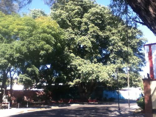 The tree planted by Guadalupe Victoria, Calzada de la Republica @ Oaxaca 12.2012