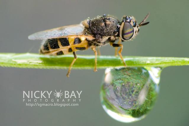 Soldier Fly (Stratiomyidae) - DSC_9790