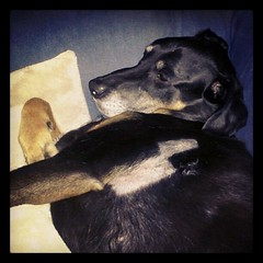 Getting your stitches out is hard work! #dogstagram #dobermanmix #rescue #adoptdontshop #love #bigdog