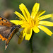 Small photo of Lycaena phlaeas