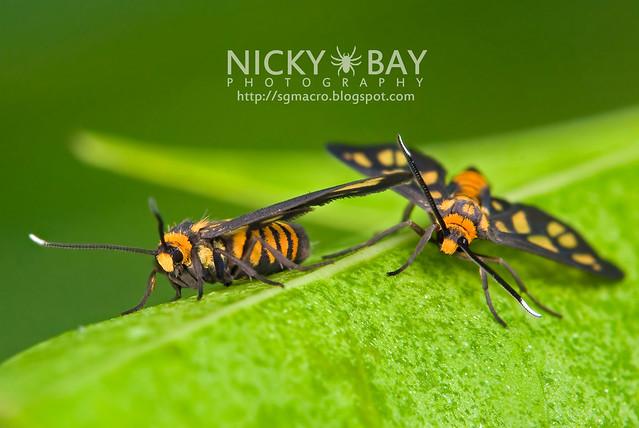 Tiger Moths (Arctiidae) - DSC_1439