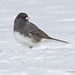 Dark-eyed Junco (male)