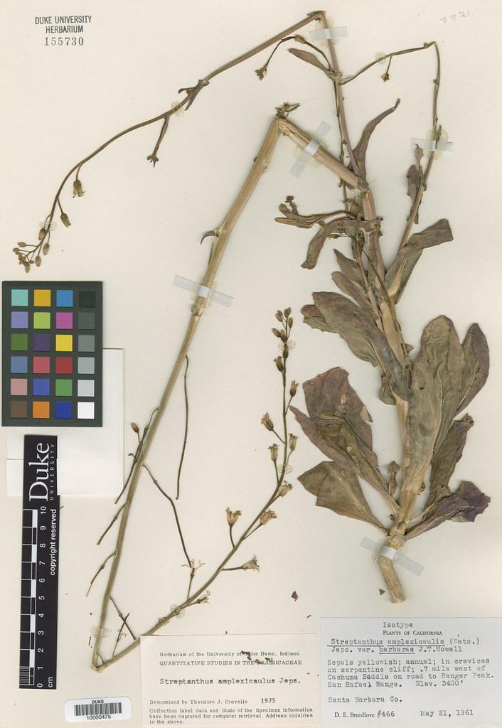 Brassicaceae_Streptanthus amplexicaulis