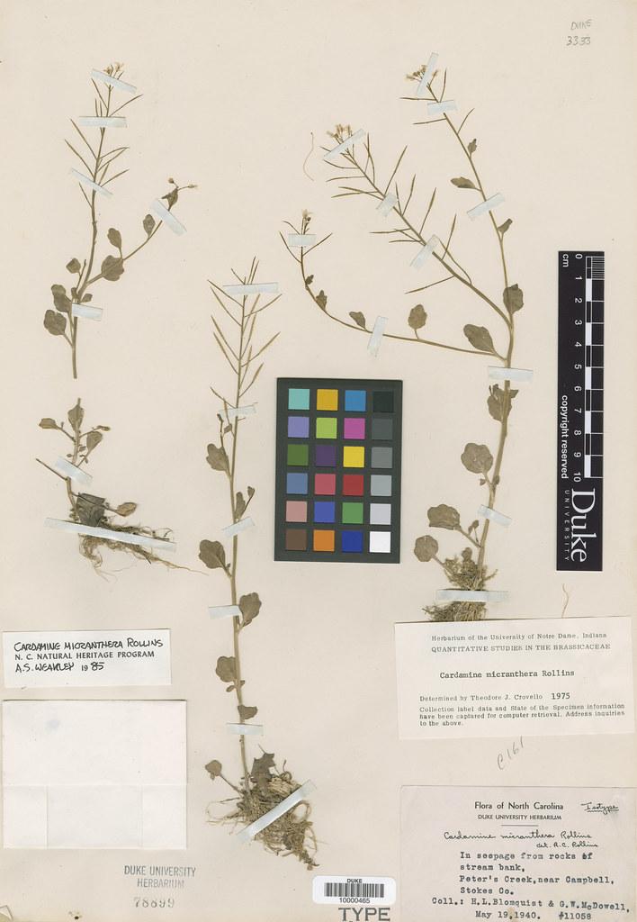 Brassicaceae_Cardamine micranthera2