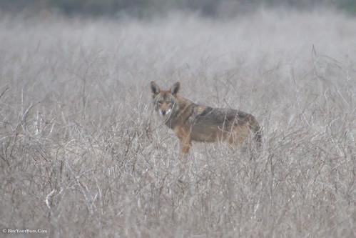 California Valley Coyote (Canis latrans ochropus)