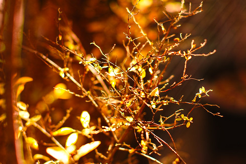 The branch dyed the golden color which shines with the yard by leicadaisuki