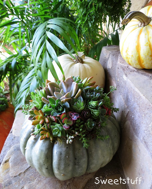 Succulent pumpkin of Laura Balaoro