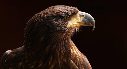 • Tawny Eagle •