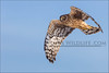 Northern Harrier 010913-4750-W.jpg by RobsWildlife.com © TheVestGuy.com