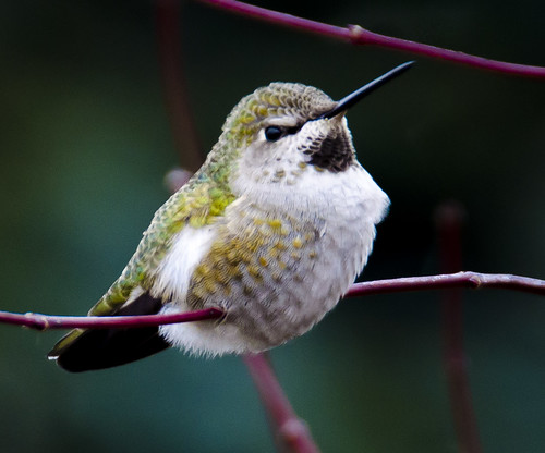 A male Anna's Hummingbird keeps warm in near freezing weather in our yard.