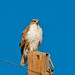 near bitter lake nwr; ferruginous hawk by PabloTashjian