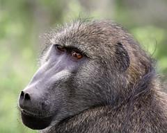 Baboon, Kruger Park, South Africa