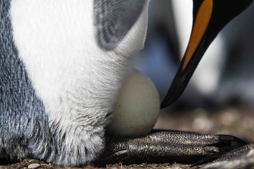 king penguin and egg by Derek Pettersson