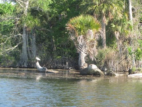CC Egret and Missed Gator