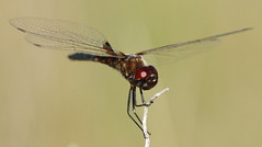 Marl Pennant (immature male)- Aripeka Sandhills Preserve