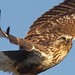 Rough-legged Hawk by photosauraus rex