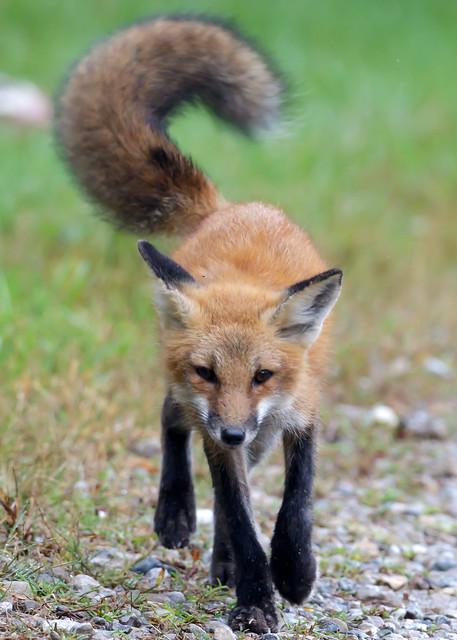 Red Fox by Steve Gifford