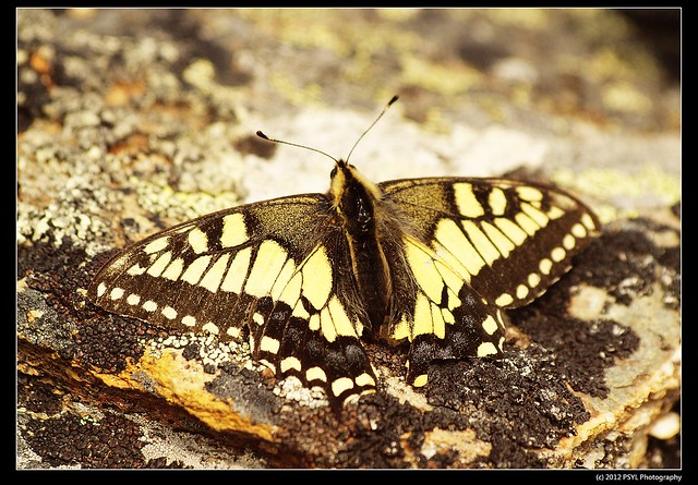 Old World Swallowtail (Papilio machaon)