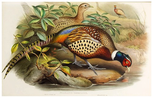 018-Chinese Ring-necked Pheasant-The birds of Asia vol. VII-Gould, J.-Science .Naturalis by ayacata7