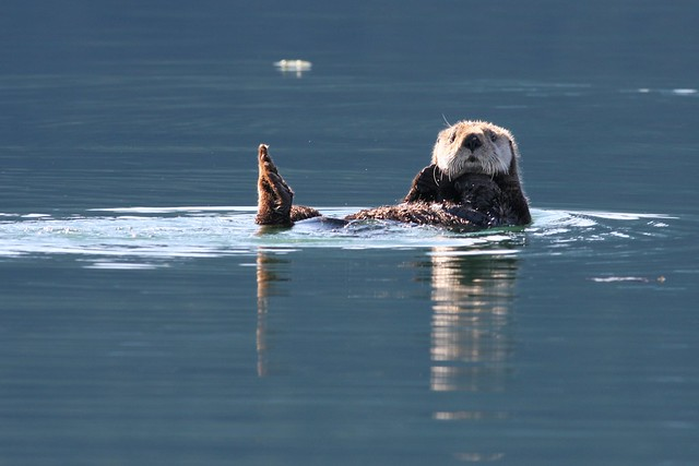 Sea otter in calm blue water, poking its sunlit head up and looking at the camera. Its little furry paws are sticking up out of the water also.